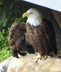 """My Fellow Americans..."" (B9focus) Tags: bird interesting funny eagle baldeagle caricature comical politicalcartoon stance americanbaldeagle localzoo posturing norristownzoo"