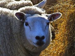 Sheep HDR (Deathwaves) Tags: uk wales sheep farm north livestock rhyl hdr denbighshire supershot superbmasterpiece diamondclassphotographer
