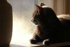 My Cat in Office Window (Jeff Wignall) Tags: cats cat nikond70 lateafternoon windowlight wignall edgelight