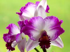 Laeliocattleya (dolorix) Tags: plant orchid flower nature natur pflanze laeliocattleya orchidee blume elegance eleganz brillianteyejewel