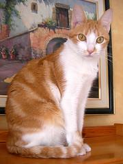 noelia (Equis le chat) Tags: animal cat chat kitty gato mascota gati kots flino