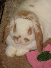 IMG_1194 (joandirk) Tags: rabbit cadbury lop hollandlop
