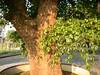 竹山鎮中和里救人老茄苳樹DSCN6040