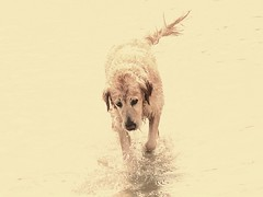golden leonie (*mara* (back again)) Tags: dog wet water goldenretriever agua wasser perro hund leonie nass