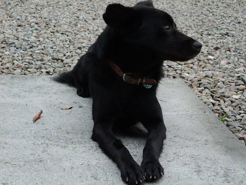 沁月小黑狗