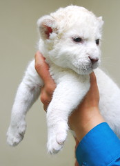 White Lion (floridapfe) Tags: baby white cute animal zoo nikon korea whitelion everland impressedbeauty