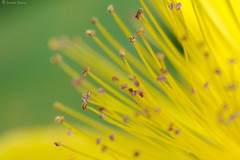 (Pfenya) Tags: flowers flower macro nature canon garden 100v10f blosom inspiredbylove canon100mm flickrsbest hypericumchinense flickrcolour adoublefave macroflowerlovers awesomeblossoms vanagram epiceditsselection goldenvisions