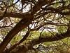 Little columnar cacti growing on trees (bunkenburg) Tags: cactaceae stenocereus