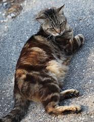 """CatWorld"" Centerfold (Just George 2) Tags: pet green cat canon eyes feline chat tabby kitty greeneyes gato kitteh bobby katze gatto gs kedi minou matou ef100mmf28macrousm eartufts tuftedears eos5dmkii oscarsurrealleous"