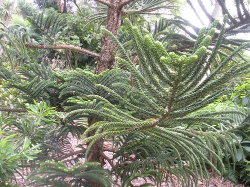 Araucaria montana 3620717520_0226fb0733