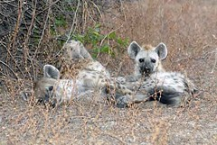 Hyena mother and cub, South Luangwa
