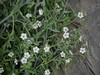 white fiesta flower - pholistoma membranaceum