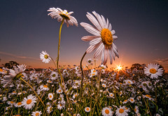 RISE & SHINE! (wilsonaxpe) Tags: nottingham sunset bigdaisies nikonsb900speedlight wilsonaxpe dramaticflowerscapes