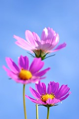 Breath of Fresh Air (*Sakura*) Tags: pink blue autumn sky flower macro fall japan explore sakura  cosmos   cosmosflower