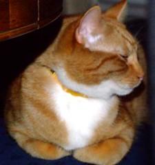 Cosmo (Angryoffinchley) Tags: red orange pet cats pets white cute jessie socks cat ginger kitten kat chat stripes kittens gato buff mao katze cosmo biss gatto poes kater gat mittens minou chatte kato kissa chaton bushi moggy kocour kut gatz kotka wesa kocka  kiisu bache maow gorbeh sinta gorbe catua katsi qit besseh mw domadh katjie mac hirrah qitah