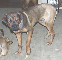 Napoleon at 7 months (muslovedogs) Tags: dogs napoleon mastweiler myladyoffspring lilboyoffspring