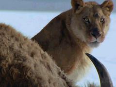 20 american lions