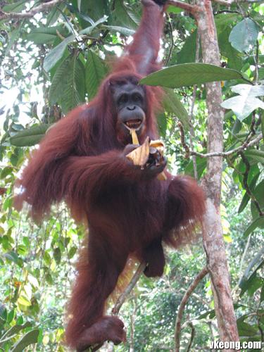 orang-utan-eat-banana