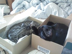 Cosmos and Angel in shoeboxes (CatLadyGeek) Tags: cats angel cat blackcat tabby tiger kittens cosmos tabbycat tigercat camfjan08