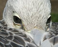 Watching (M Kuhn) Tags: 15fav bird animal 510fav zoo eyes feathers pelican pelikan augen 110fav tier vogel pelicano tierparkberlin pélican federn avianexcellence