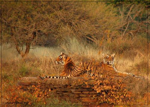 Tiger Sisters