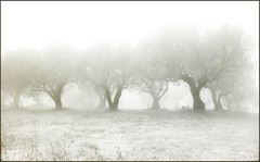 Few trees in the mist (guiba6) Tags: leica trees winter italy mist alberi searchthebest verona olives fields nebbia biancoenero ulivi leicam8 elmarit28