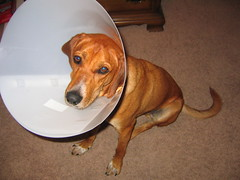 Rusty recuperating after surgery by Dan Harrelson, on Flickr