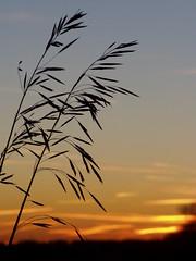Gräser am Abend (Iveta) Tags: sunset shadow sun home evening abend sonnenuntergang gras sonne schatten heimat gräser niederrhein