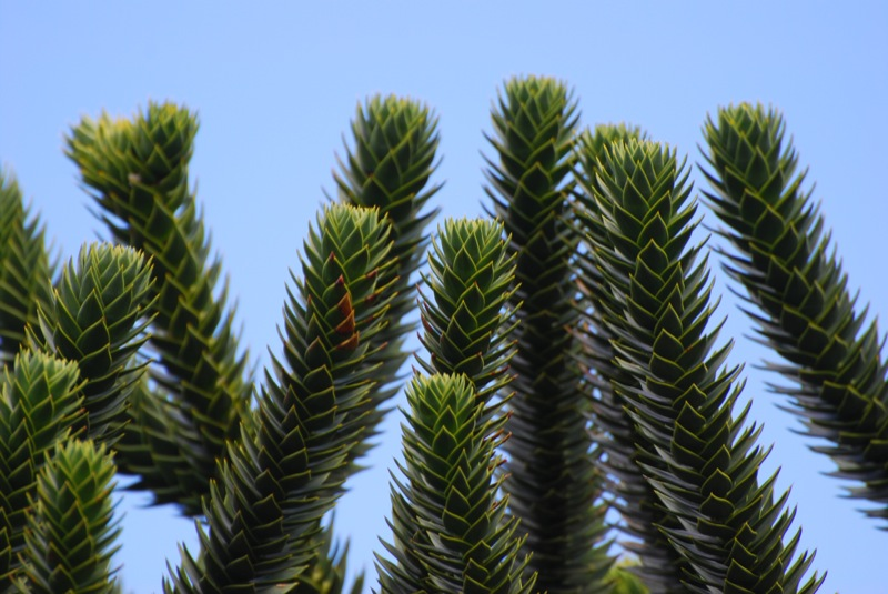 araucaria, up close