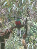 Male Quetzal (Firestar779) Tags: birds costarica centralamerica quetzals southquetzals southamericaquetzals