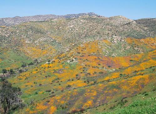 wildflower landscape near Anza-Borrego Desert Park