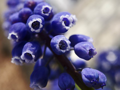 Grape hyacinth (bored-now) Tags: blue flower macro purple hyacinth muscari grapehyacinth supershot dsch3 macroflowerlovers