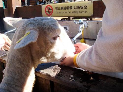 sheep drinks