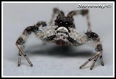 Female Portia (Stevewhy) Tags: macro nature closeup spider fantastic searchthebest spiders arachnid extreme bugs macros supermacro extrememacro naturesfinest blueribbonwinner top20spidersandwebs beautyisintheeyeofthebeholder specanimal abigfave mywinnerstrophy anawesomeshot impressedbeauty specinsect creamofthecropanimalpics onenesslabyrinth diamondclassphotographer flickrdiamond qemdfinchadminfaveformay macromaniacsofsingapore coolestphotographers buzznbugz awesomebugs superawesomebugs excapturemacro