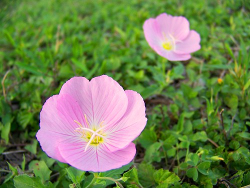 Lovely pink evening primrose