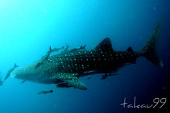 Whale Shark at Koh Tao Island, Thailand (_takau99) Tags: ocean trip travel blue sea vacation holiday fish uw nature water topv111 thailand lumix shark topv555 topv333 asia southeastasia underwater wildlife topv1111 topv444 scuba diving topv222 panasonic thai tropical april scubadiving whaleshark tao kohtao 2007 gulfofthailand topf5 タオ島 takau99 dmcfx30