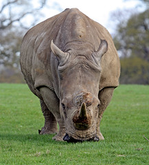 YOU Give Way! (f0rbe5) Tags: uk african bedfordshire massive horn 2008 rhinoceros safaripark woburnsafaripark collagen woburn whiterhinoceros herbivorous ceratotheriumsimum megafauna squarelippedrhinoceros keratin perissodactyl
