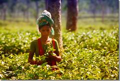 Woman Picking Tea (Shabbir Ferdous) Tags: woman photographer tea greentea sylhet bangladesh teaplantation bangladeshi tealeaf srimongal srimangal teapicking canoneosrebelxti shabbirferdous monkeypickedtea womanpickingtea jamesfinlays sigmazoomtelephoto70300mmf456apodgmacro wwwshabbirferdouscom shabbirferdouscom