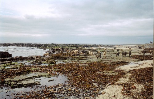 The seaweed eating sheep of North Ronaldsay