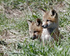 Fox Kits - Karns Meadow, Jackson, WY (Dave Stiles) Tags: fox redfox vulpesvulpes foxcub jacksonwy foxkit karnsmeadow