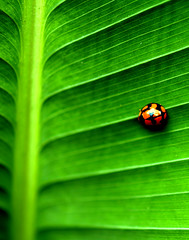 Mac10 (tchua) Tags: macro bug ladybird beautifulbug naturewatcher