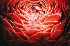 Ranunkel (Paul mit dem Pinscher) Tags: bluete blume markro pflanze ranunkel rot ranunculus plant flower blossom macro red