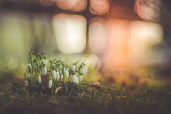 Feel It All Around (Stefan (back from Scotland, but need some time)) Tags: snowdrops bokeh crazybokeh creme soft blur spring frühling grass meadow lawn color colors sonya7m2 sonyalpha7 trioplan trioplan28100 meyergörlitz meyergörlitztrioplan28100 meyeroptikgörlitz trio trio100 trioplan100 100mm f28 macro proxy nature naturephotography flower flowers