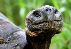 Galapagos Tortoise (TheRightLight) Tags: island ecuador wildlife galapagos charlesdarwin cruz equator ecu watercruise galapagotours toursislandsclean tripseco tourecological isolationendangeredgalapagointernational watersislandisolationnatural selectionsouth americatheory evolutiontravelwildlifesanta