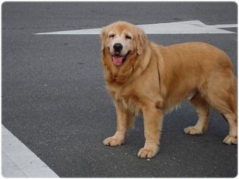 「認養」台北中和連城路黃金獵犬selina男女生?誠徵會照顧他一輩子的新家~謝謝您!20110531