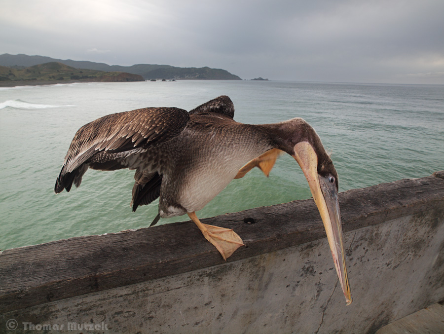 Pelican Scratching, Pacifica, California, June 2011