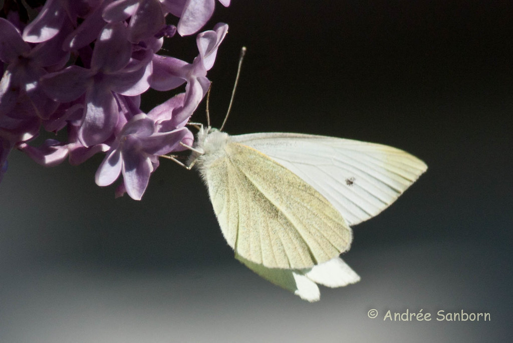 Cabbage White Butterfly (Pieris rapae)-10.jpg
