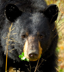 Black Bear in Alberta (Roy Mac) Tags: bear canada nature animal nikon wildlife alberta planet clover animalplanet blackbear americanus ursusamericanus maclellan animalkingdomelite anawesomeshot roymac roymaclellan ursusamercicanus