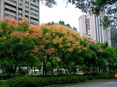 深秋的台灣欒樹