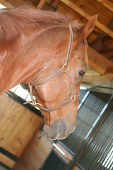 Phin (KJKing) Tags: horse chestnut thoroughbred phin phineas loh gelding hardtobehumble